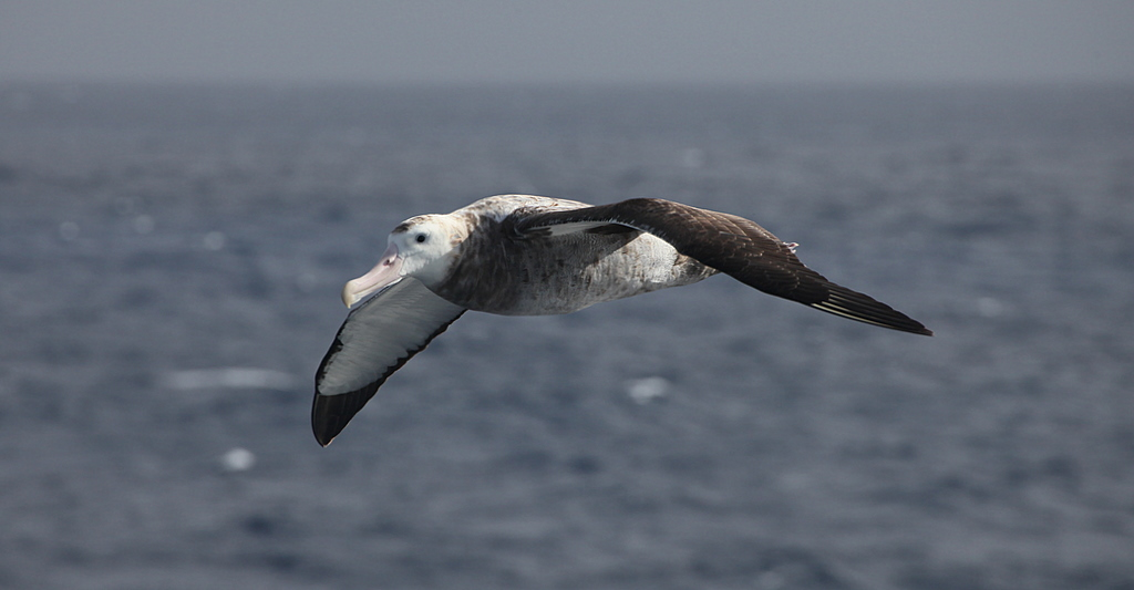 An albatross following the ship in the Drake Passage.