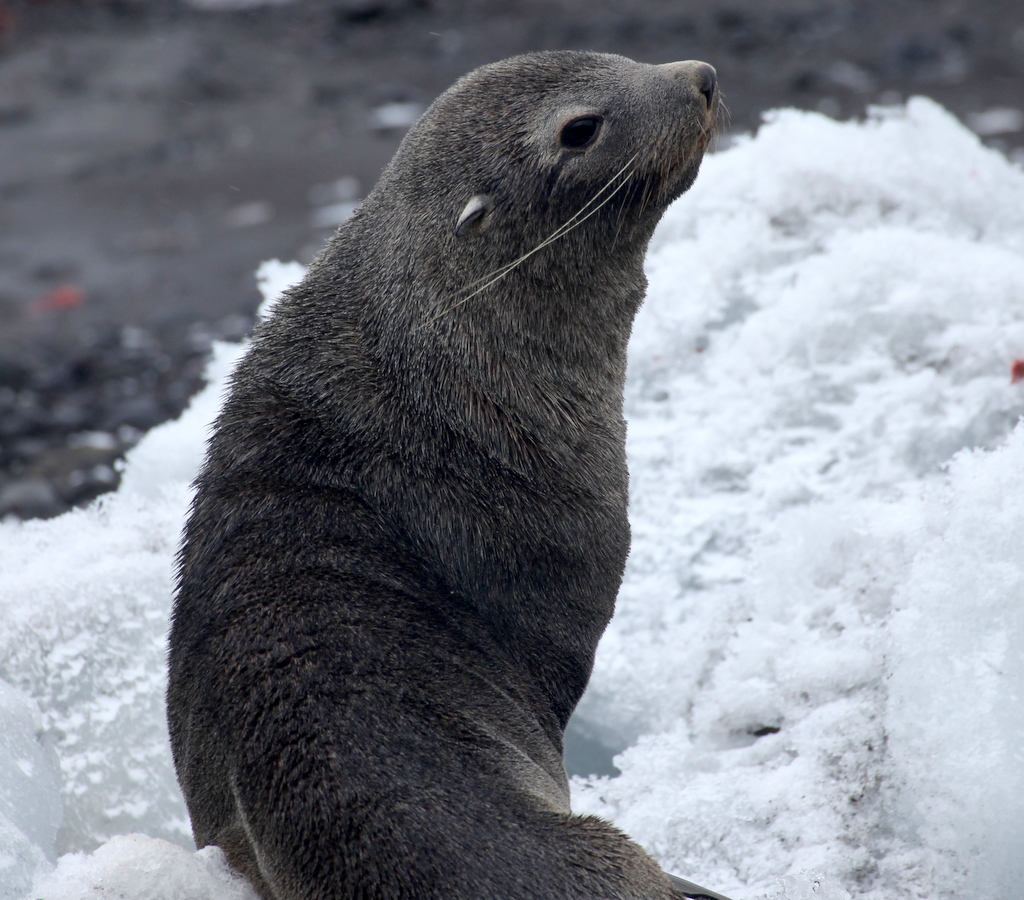 A fur seal on the Antarctic Peninsula